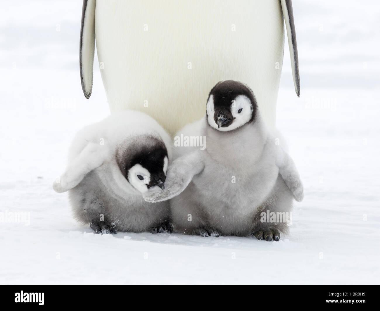 Un polluelo de pingüino emperador tiene una mordedura en el ala de un compatriota chick Imagen De Stock