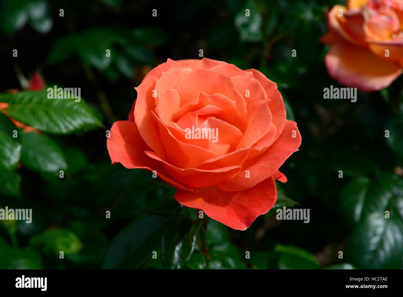 Becas arbusto Harwelcome rosa rosas rosas flores naranjas flores fragantes floración floración de arbustos Imagen De Stock