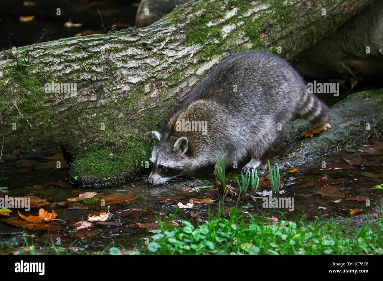 North American mapache (Procyon lotor), nativa de América del Norte, el agua potable de Brook en el bosque Imagen De Stock