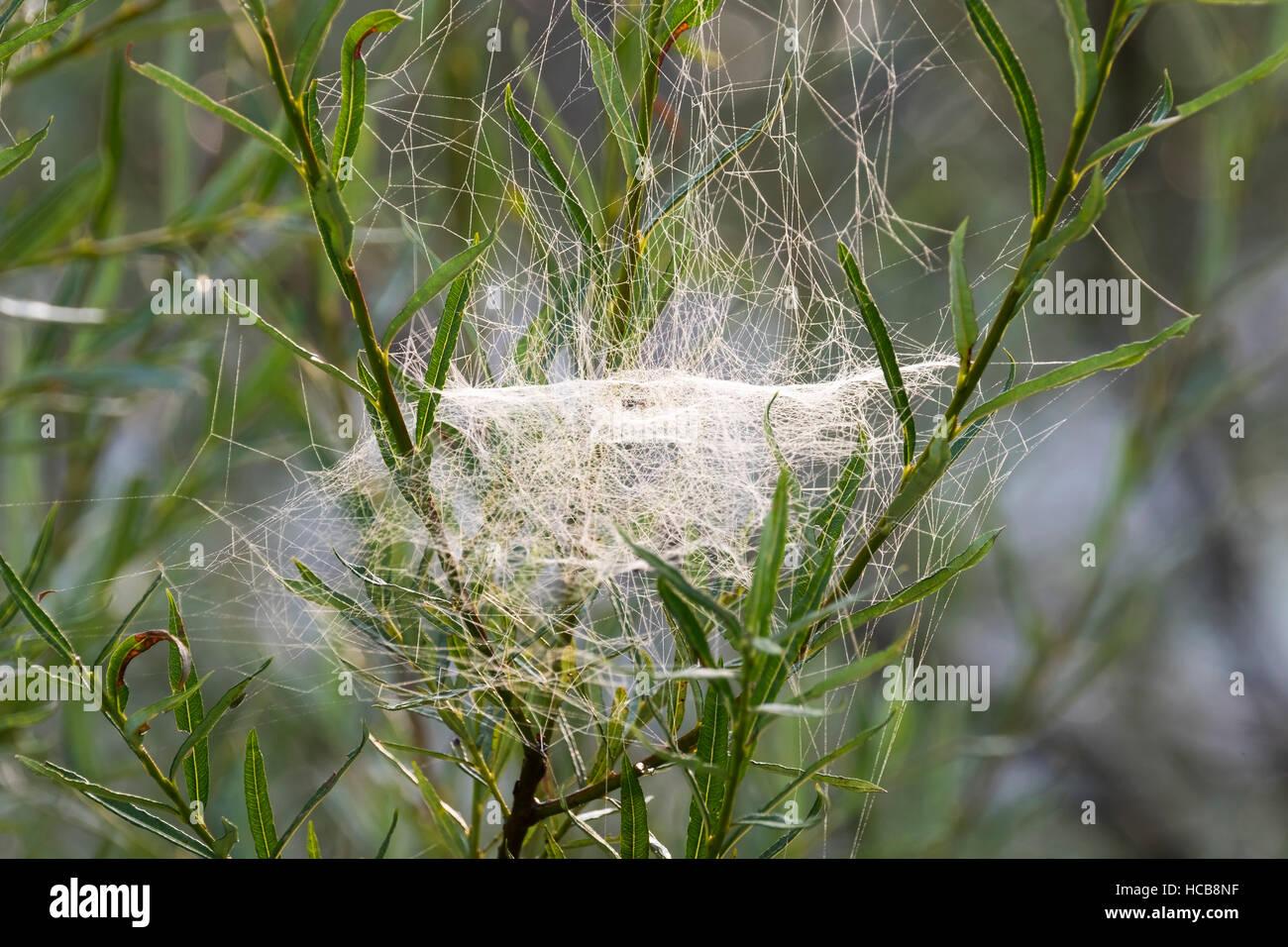 De la hoja Web Weaver (Linyphiidae) en los sauces, Isar, la Alta Baviera, Baviera, Alemania Imagen De Stock