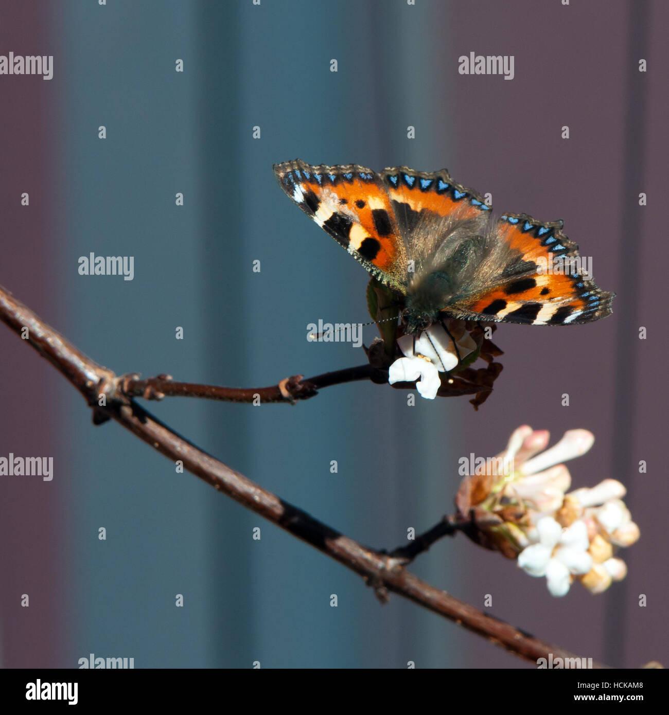 Un maravilloso color pequeña mariposa tortoiseshell succionar el néctar de la bola de nieve árbol con un bonito bokeh Foto de stock