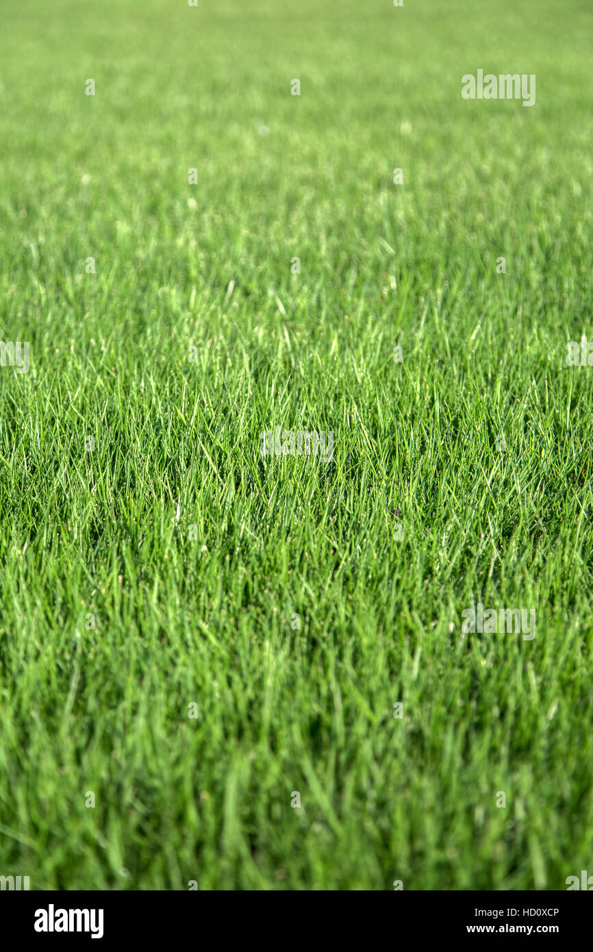 Vista cercana a la pasto verde Imagen De Stock