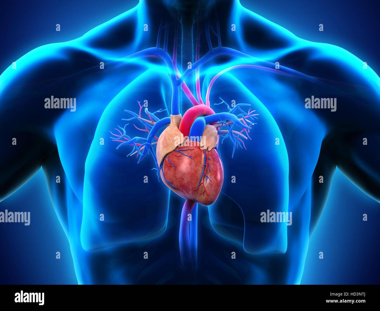 Anatomía del corazón humano Foto & Imagen De Stock: 128546114 - Alamy