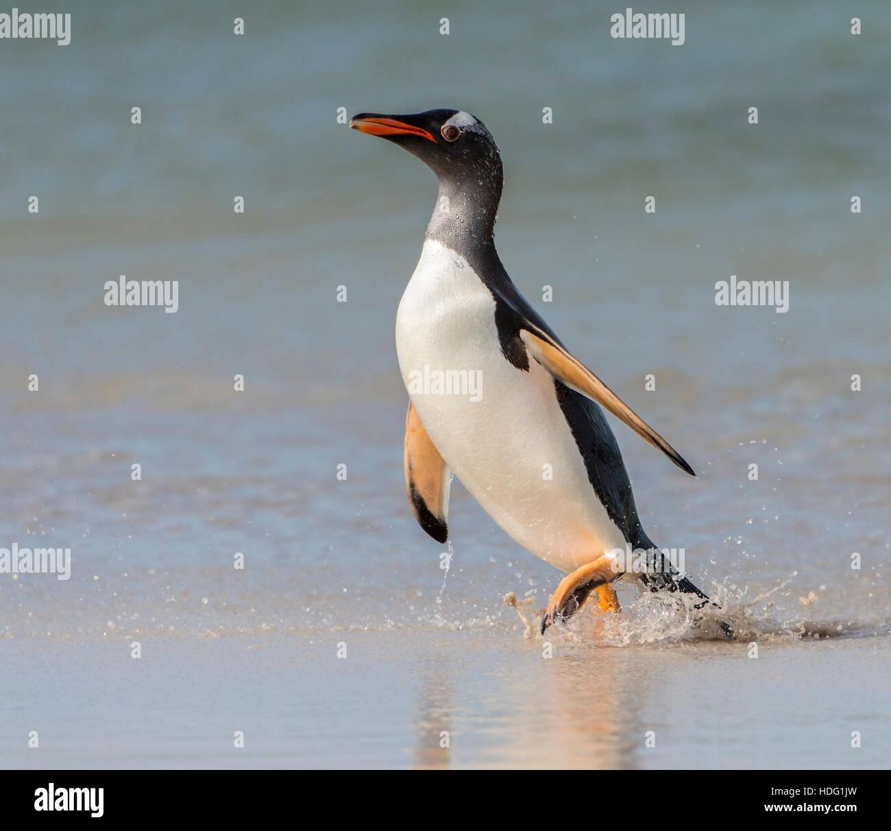 Pingüinos papúa (Pygoscelis papua) caminar a lo largo de la orilla. Foto de stock