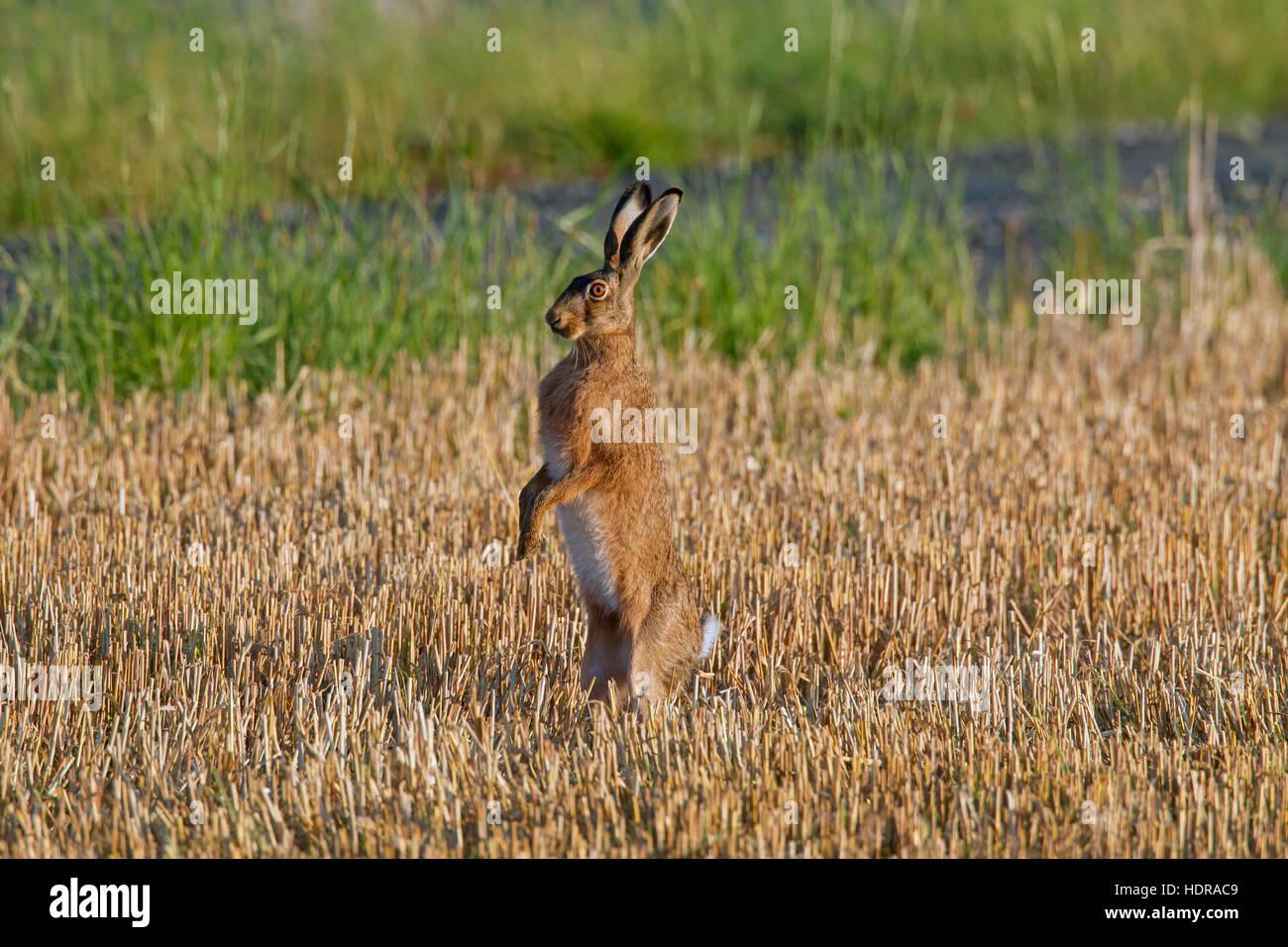 Pardo Europeo alerta de la liebre (Lepus europaeus) en posición vertical en la señora Stubblefield Imagen De Stock