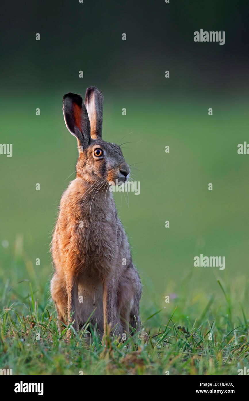 Pardo europeo de la liebre (Lepus europaeus) sentados en los prados Imagen De Stock