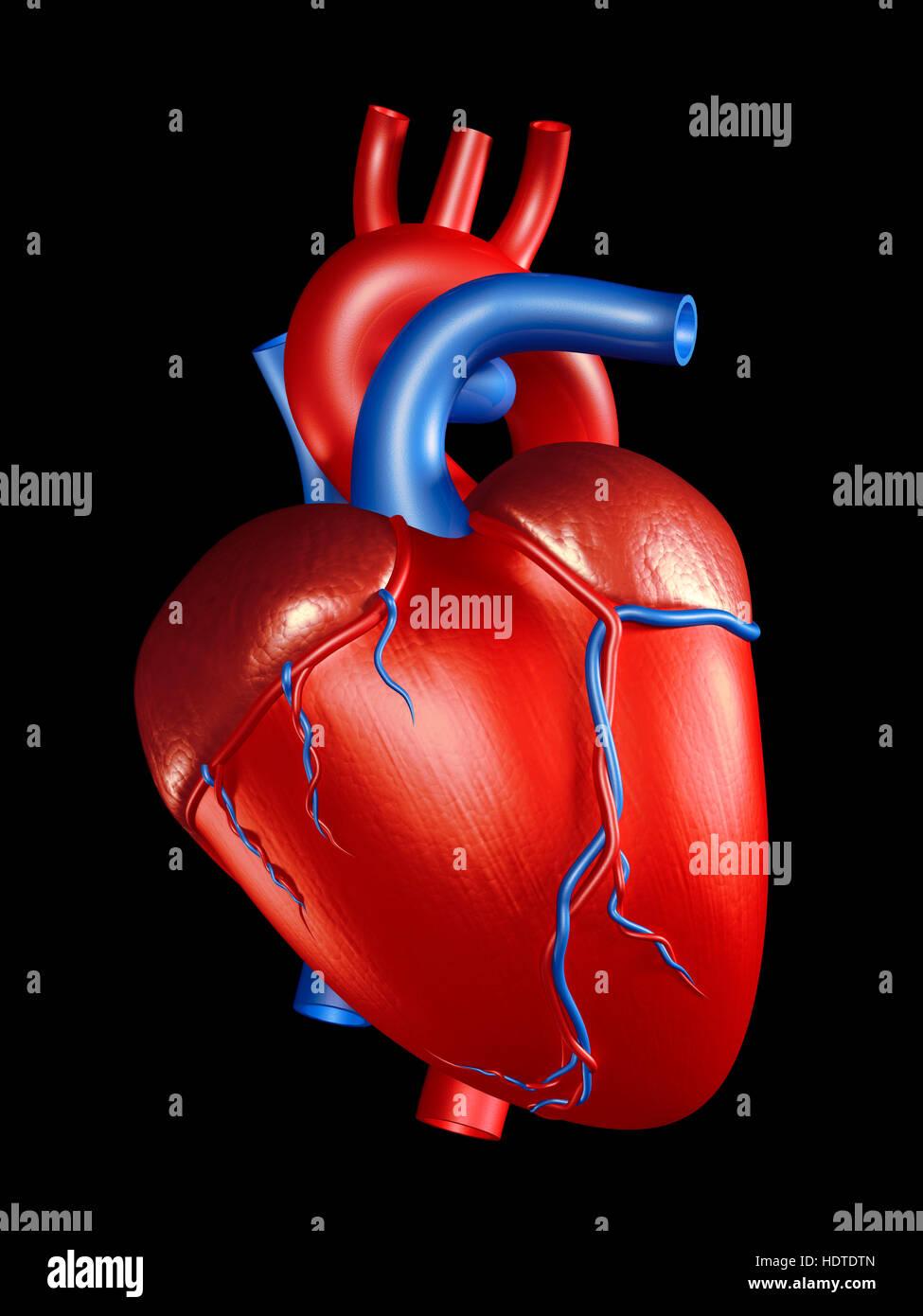 Corazón humano, ilustración 3D Imagen De Stock