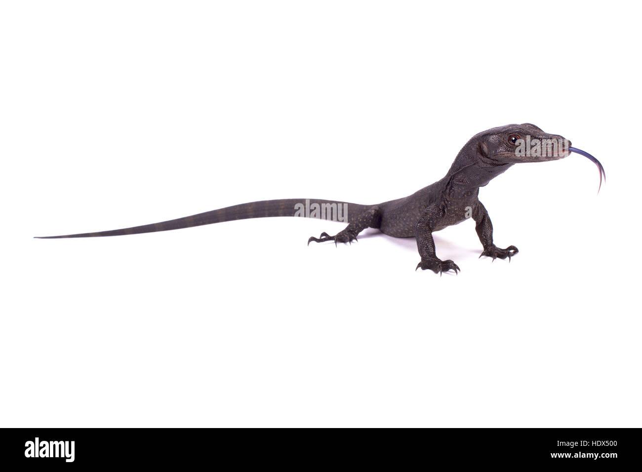 Monitor de aguas negras, Varanus salvator komaini Imagen De Stock