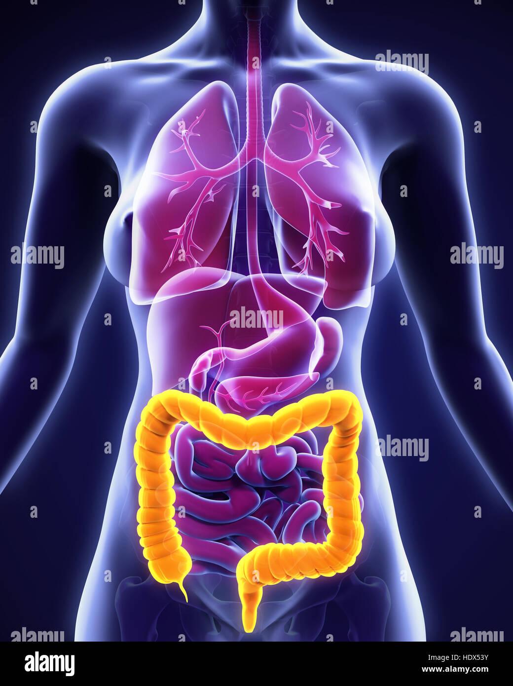 Anatomía del colon humano Foto & Imagen De Stock: 129037887 - Alamy