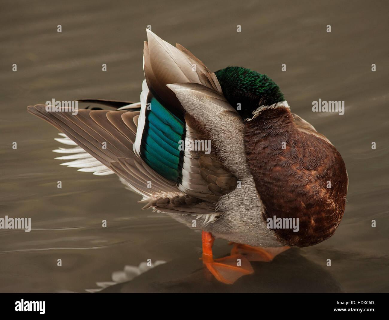 El ánade real (Anas platyrhynchos), macho, acicalarse Imagen De Stock