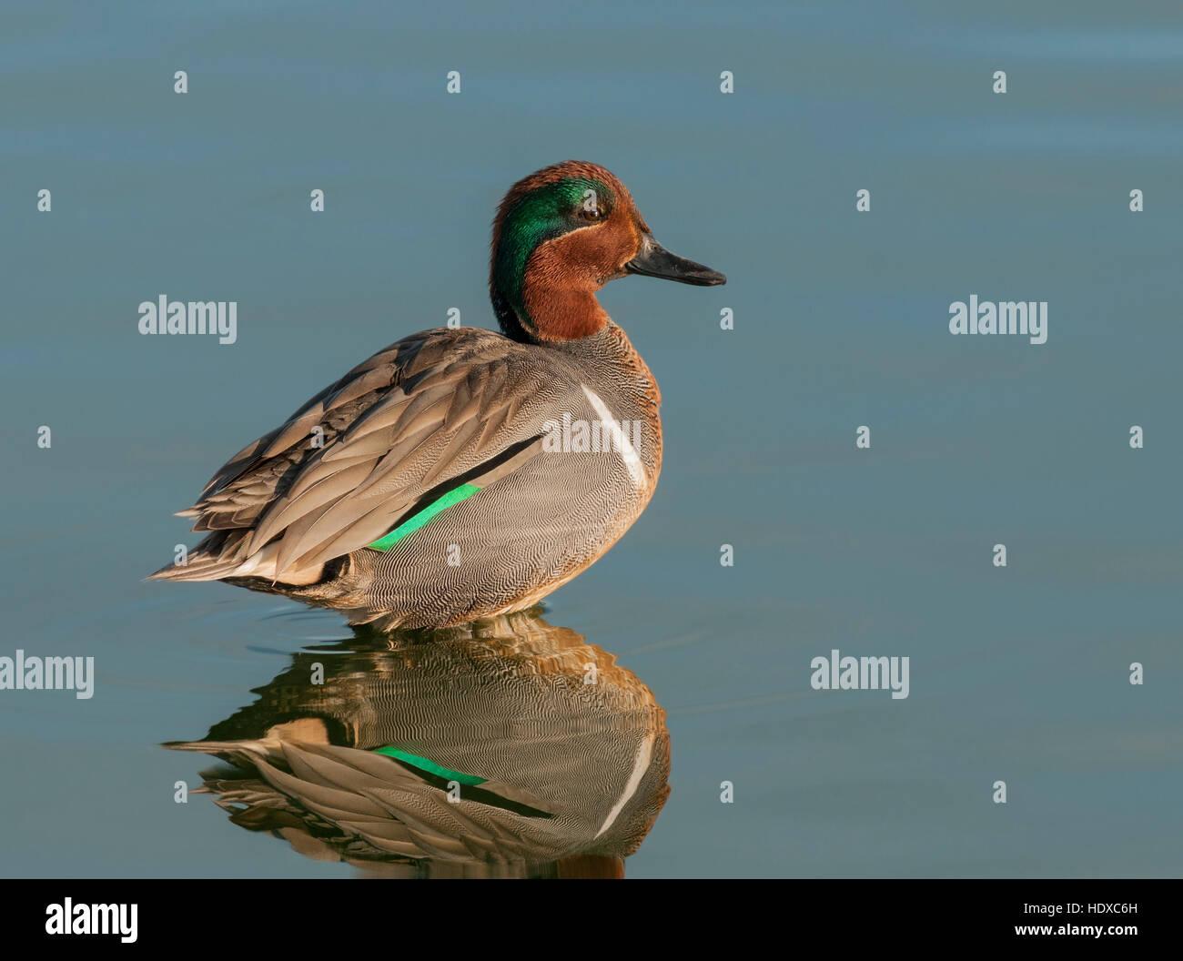 Alas verdes (Anas carolinensis), macho, con reflexión Imagen De Stock