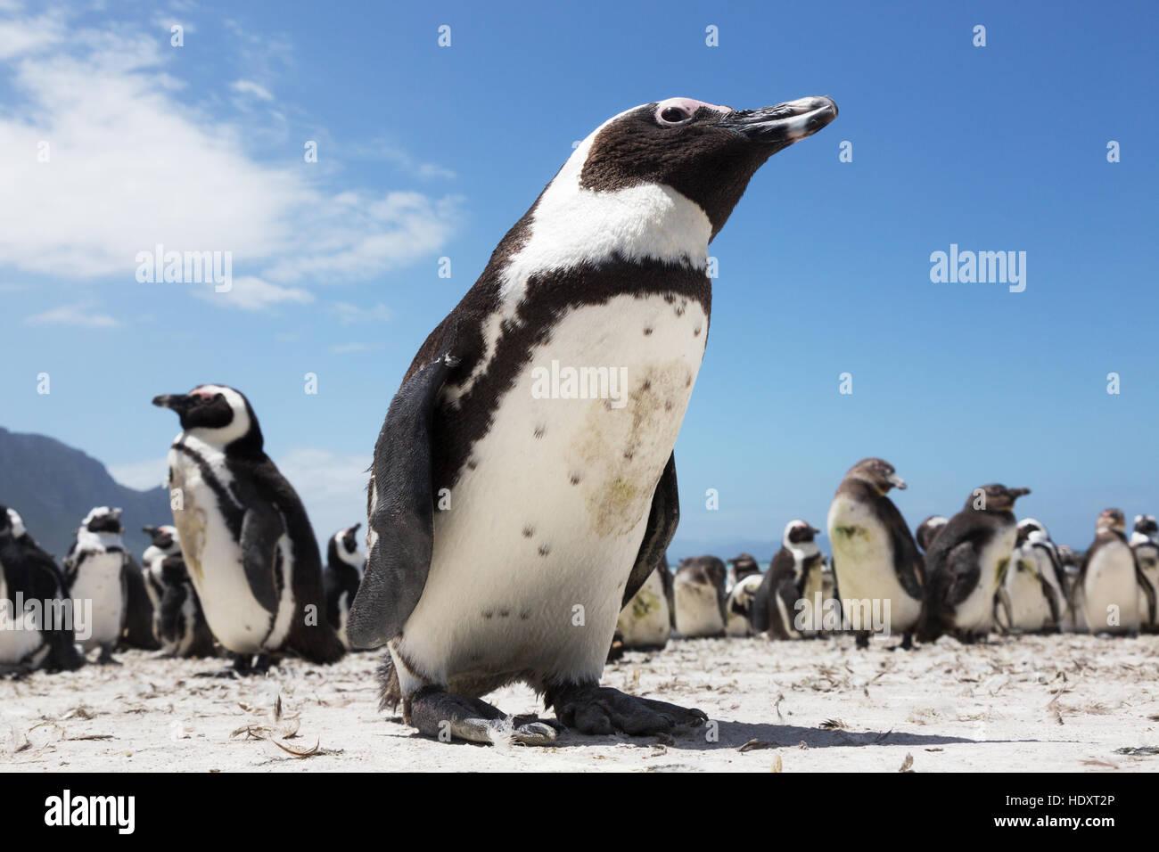 Pingüino africano ( Spheniscus demersus ) Betty's Bay, Western Cape, Sudáfrica Imagen De Stock