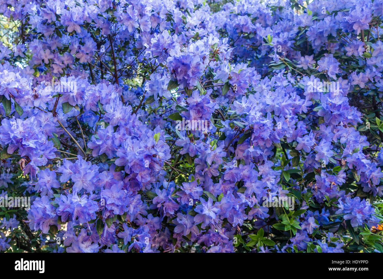 Un Primer Plano De Un Gran Disparo Azalea Arbusto Con Flores De Color Azul Brillante Fotografia De Stock Alamy