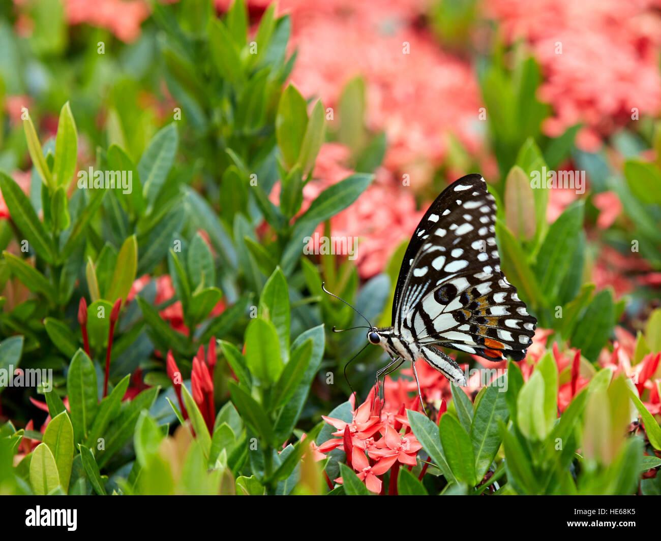 Mariposa de limón (Papilio demoleus) se sienta en un arbusto florido. Hue, Vietnam. Foto de stock