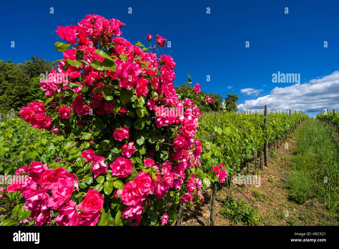 Verde Típico Paisaje Toscano En Val Dorcia Con Viñedos Flores