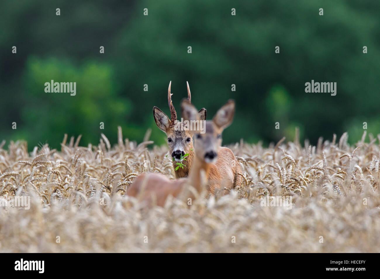 Unión corzo (Capreolus capreolus) buck persiguiendo doe en campo de trigo durante la rutina en verano Imagen De Stock