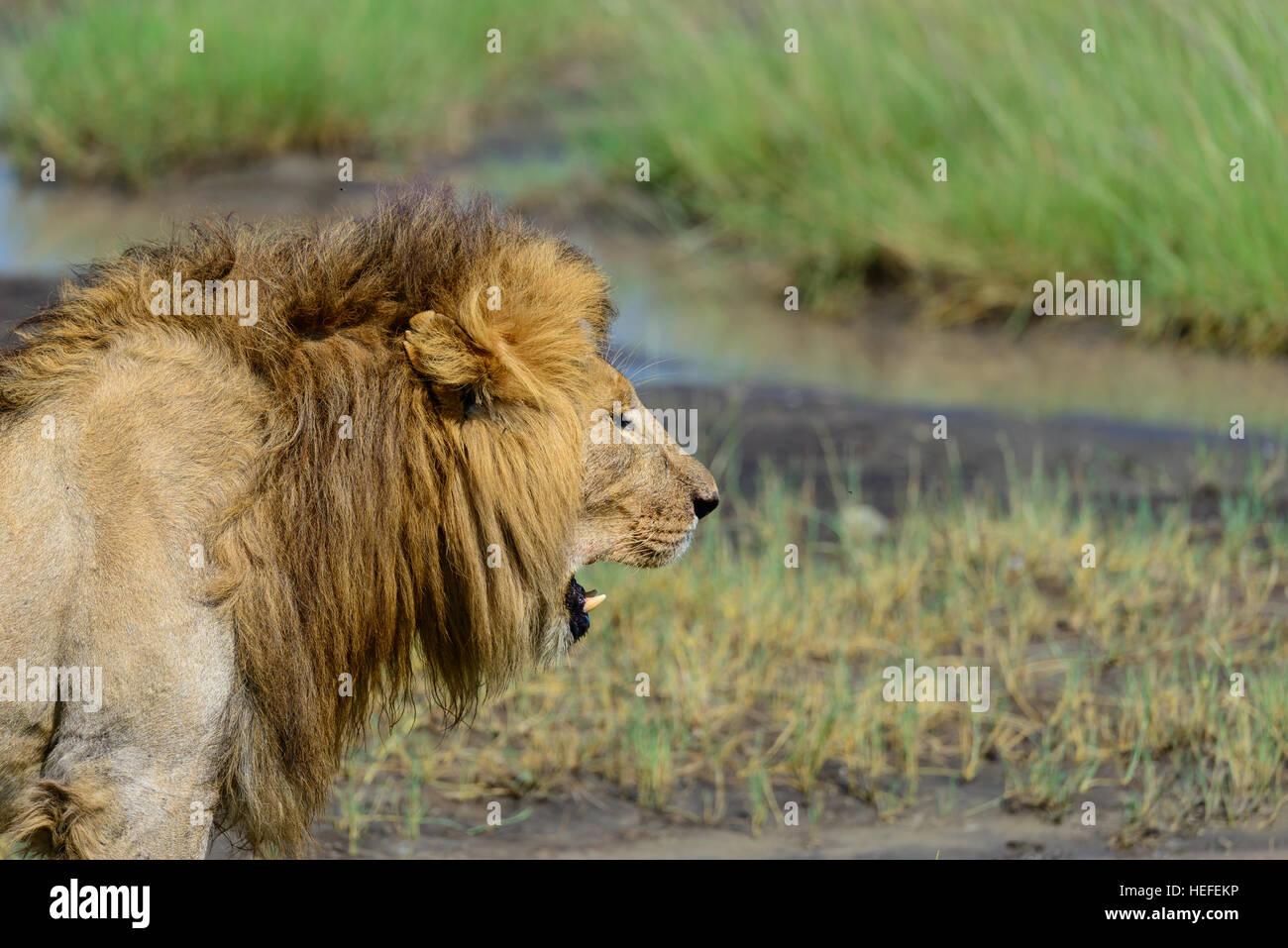 Sólo despertar: un varón adulto silvestre león (Panthera leo) en los pantanos cerca de Ndutu, Tanzania. Imagen De Stock