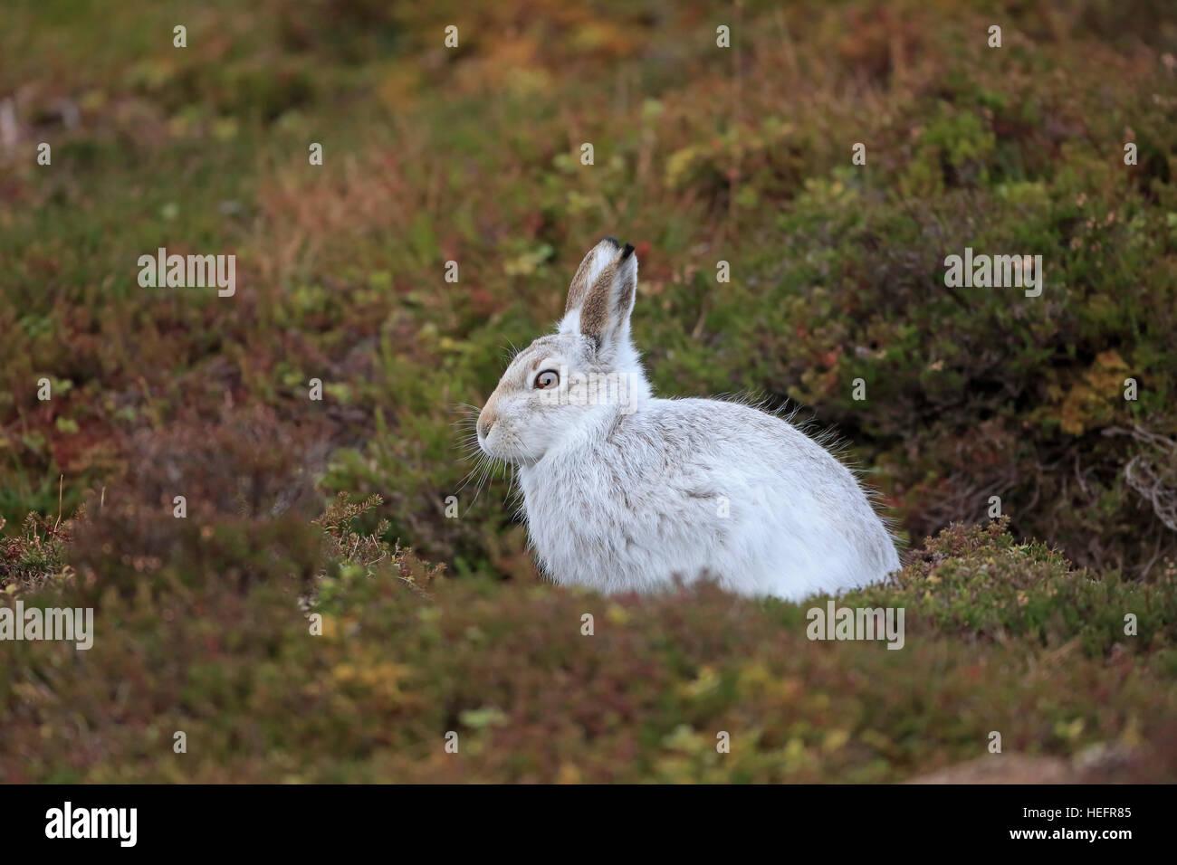 La liebre de montaña en invierno el pelaje en un páramo Escocés Imagen De Stock