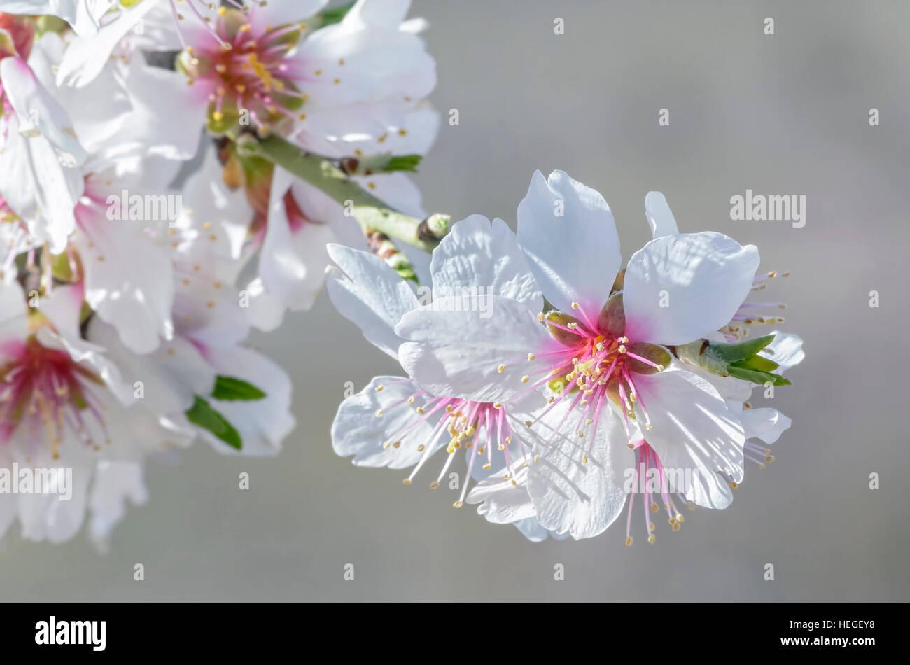 Prunus Dulcis Primavera De Fondo Flor De Almendro Hermosas Flores