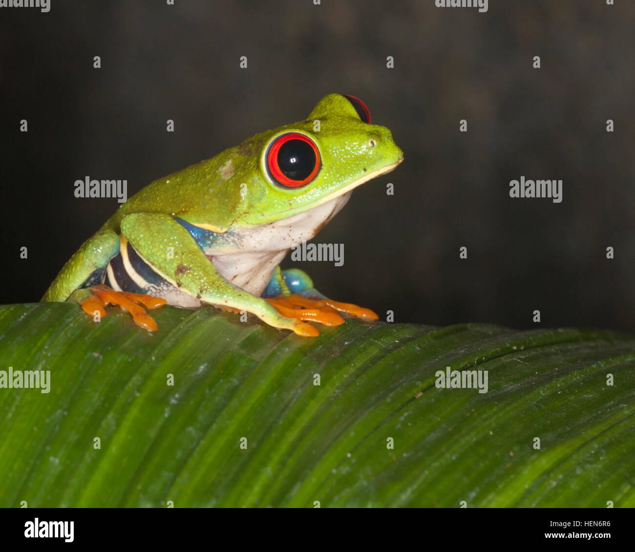 La rana arborícola de ojos rojos (Agalychnis callidryas) en hojas de la selva, también conocida como la Rana de hoja de ojos rojos Foto de stock