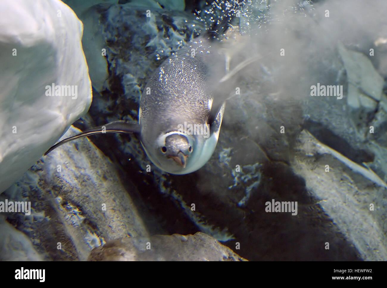Las largas colas de pingüinos papúa (Pygoscelis papua) es una especie de pingüinos en el género Pygoscelis, más Foto de stock