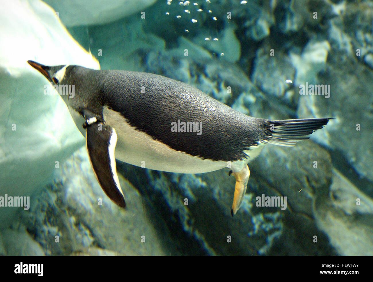 Como todos los pingüinos, gentoos son torpes en tierra. Pero son pura gracia bajo el agua. Se han simplificado los Foto de stock
