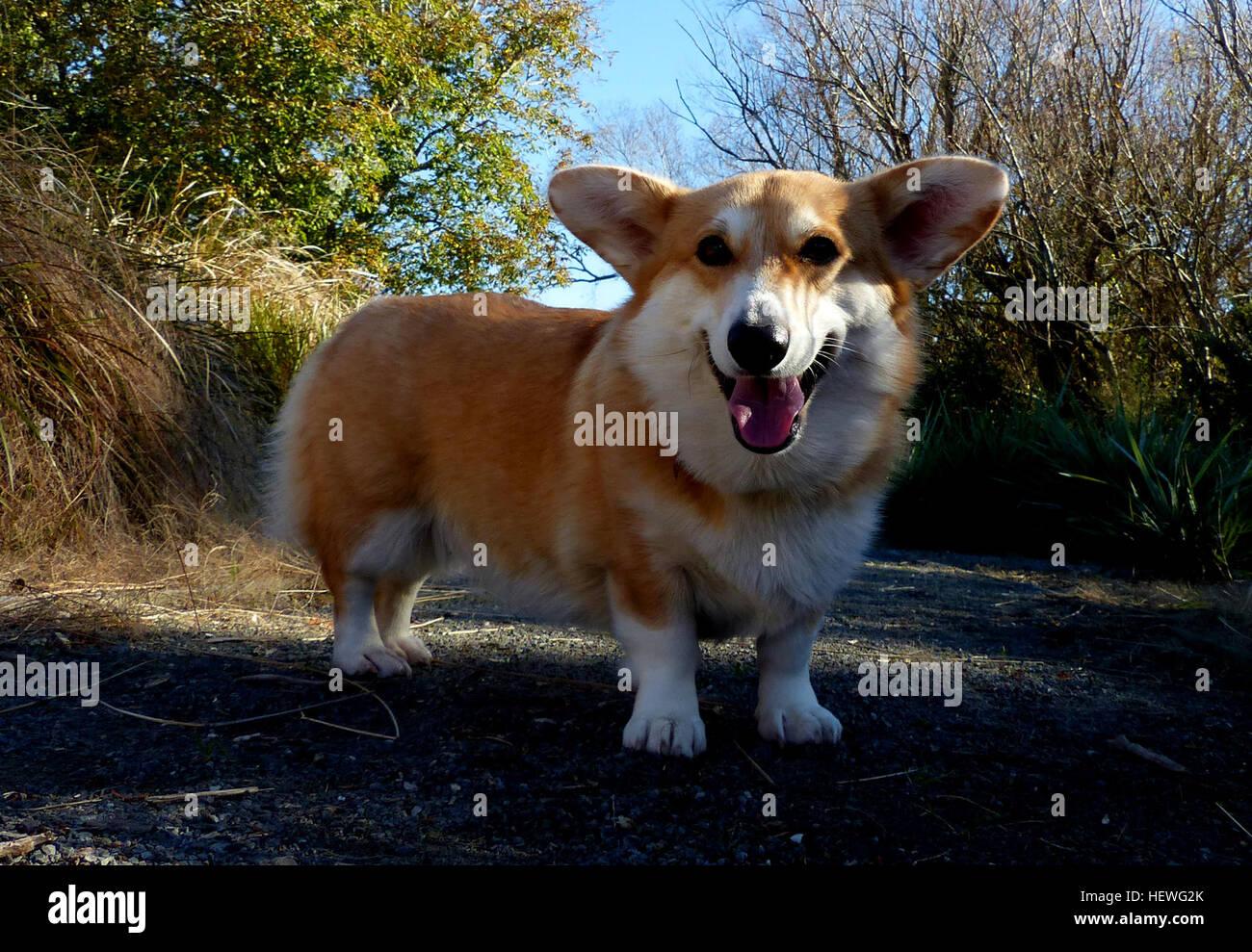 El Pembroke Welsh Corgi es una raza de perros de pastoreo, que se originó en Pembrokeshire (Gales). Es uno de dos razas conocidas como Welsh Corgi: el otro es el Welsh Corgi Cardigan. El Pembroke Welsh Corgi es el menor de los dos Corgi razas y es una raza distinta y separada del Cardigan.[1] El corgi es uno de los más pequeños perros de pastoreo en el grupo. Pembroke Welsh Corgis son famosas por ser la raza preferida de la Reina Elizabeth II, que posee más de 30 durante su reinado. Estos perros se han visto favorecidas por la realeza británica durante más de 70 años. Foto de stock