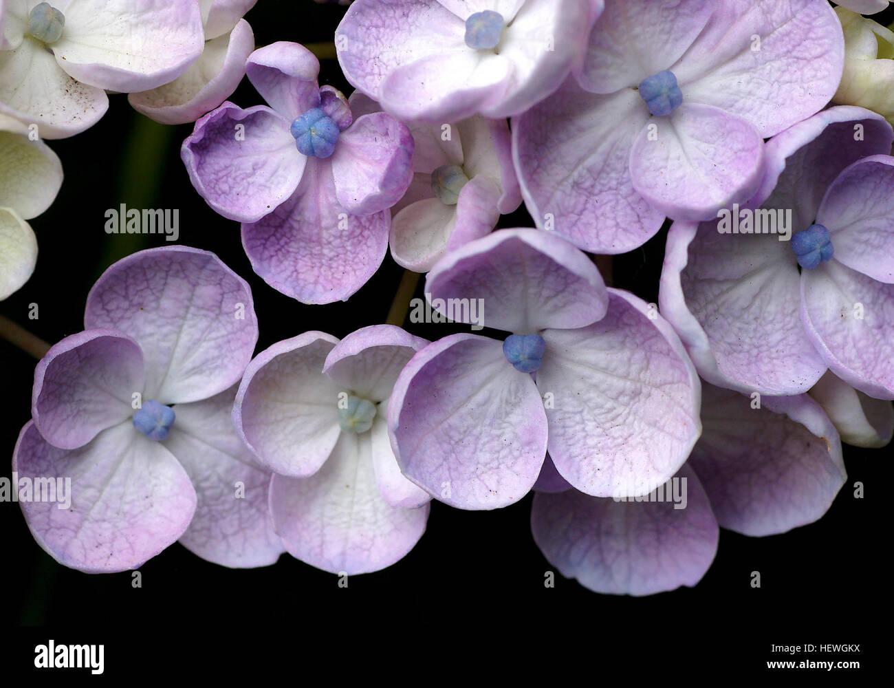 Puede Cambiar El Color De Las Flores Cambiando La Acidez Del Suelo - Color-de-las-hortensias