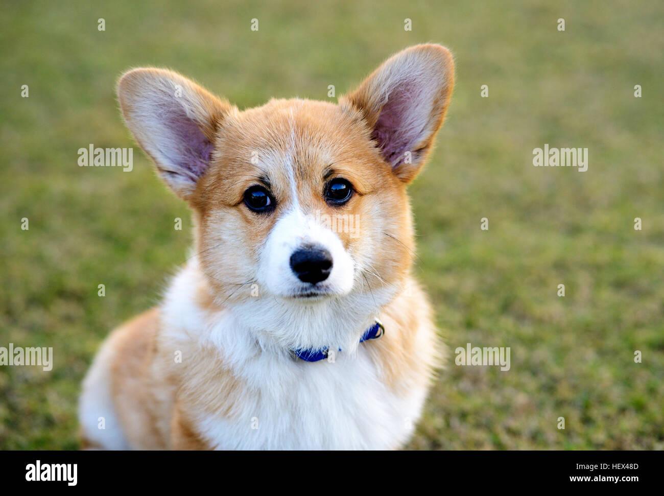Welsh Corgi Pembroke perro sentado Foto de stock