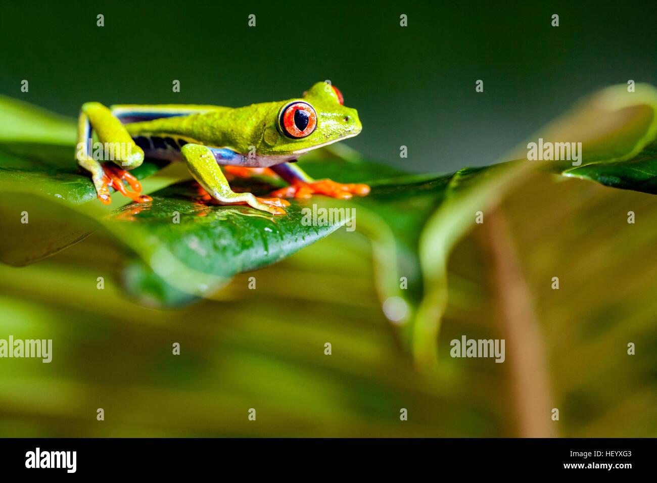 Red-eyed Tree Frog - La Laguna del Lagarto Lodge - Boca Tapada de San Carlos, Costa Rica [controlada espécimen] Foto de stock