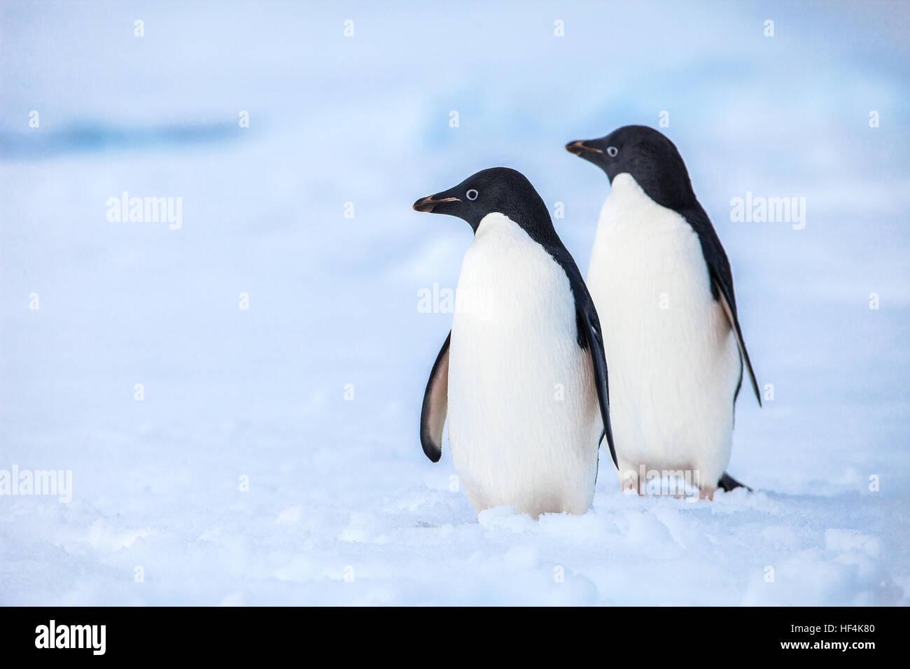 Dos pingüinos Adelie manteniendo una cuidadosa vigilancia por depredadores Imagen De Stock