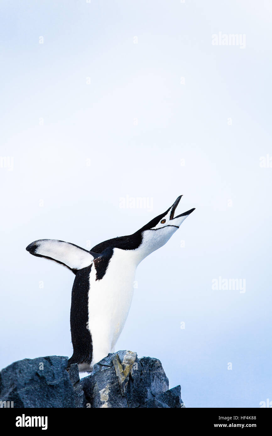 Una de pingüinos de barbijo trumpts ruidosamente. La Antártida. Imagen De Stock