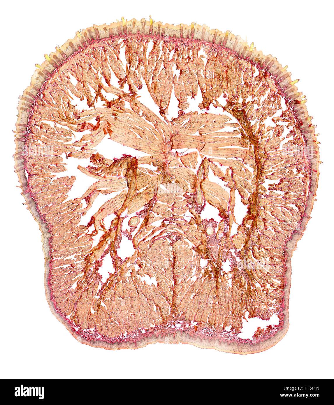 Sección transversal de la microscópica mostrando la lengua de una rata Imagen De Stock