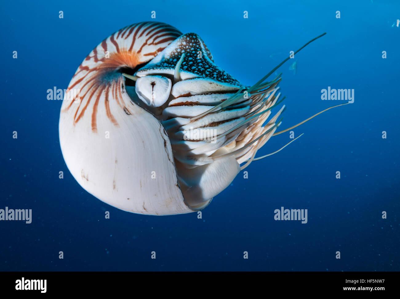 Shell Nautilus natación subacuática, Palau, Micronesia. Imagen De Stock