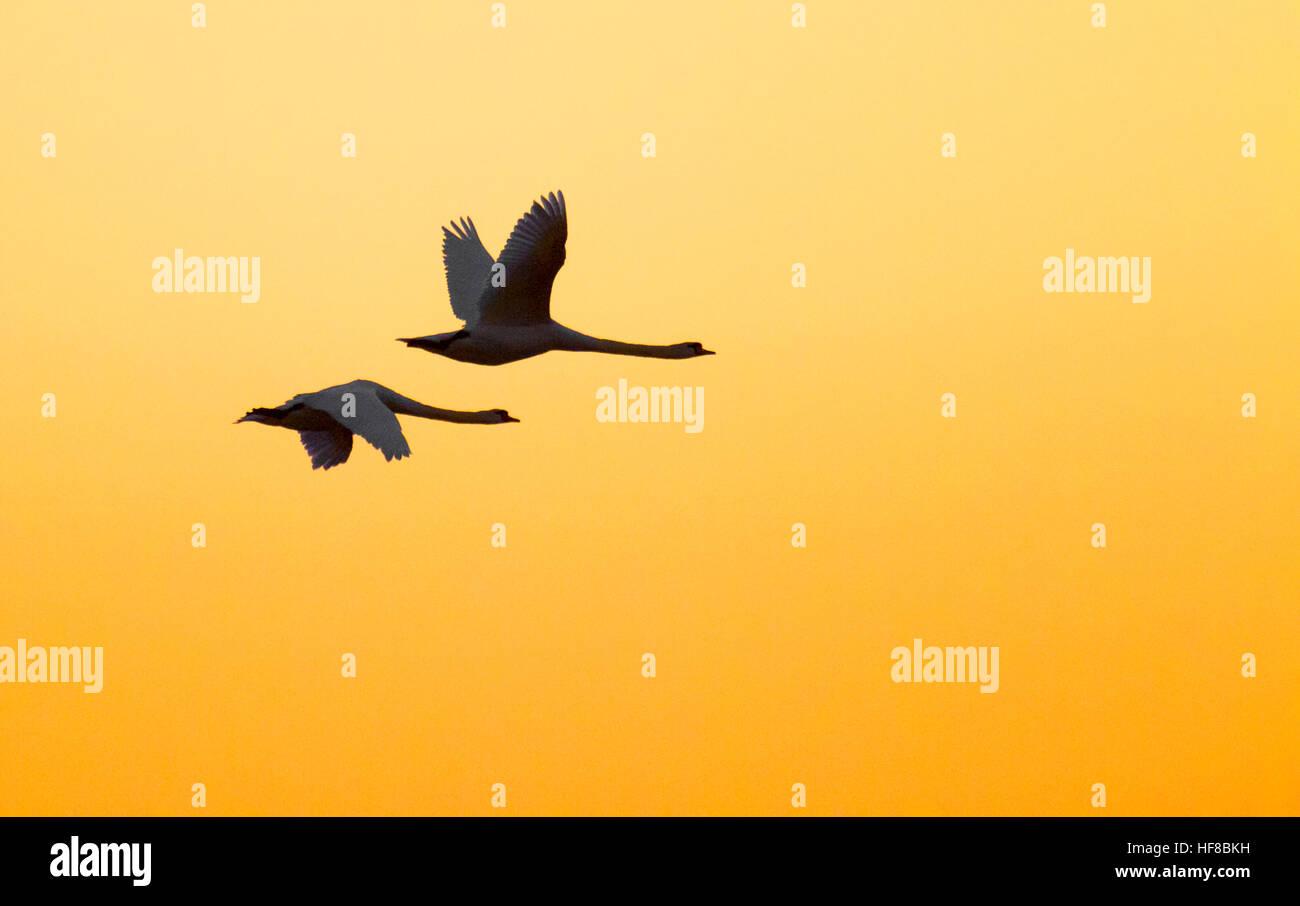 Southport, Merseyside, 28 de diciembre de 2016. Una pareja de cisnes que vuelan en el cielo sobre el calentamiento Imagen De Stock