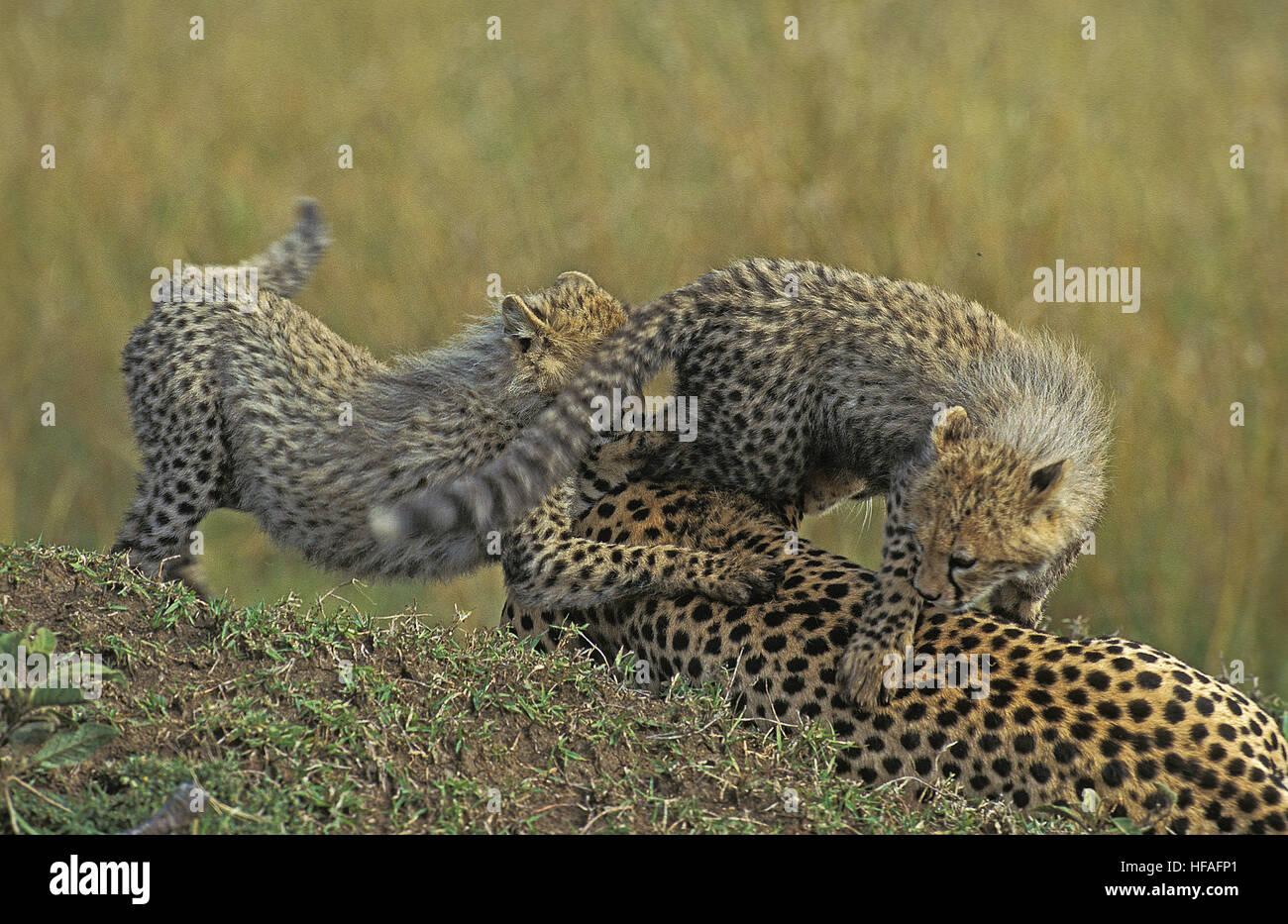 Guepardo Acinonyx jubatus, Madre y Cub jugando, Parque de Masai Mara en Kenya Foto de stock