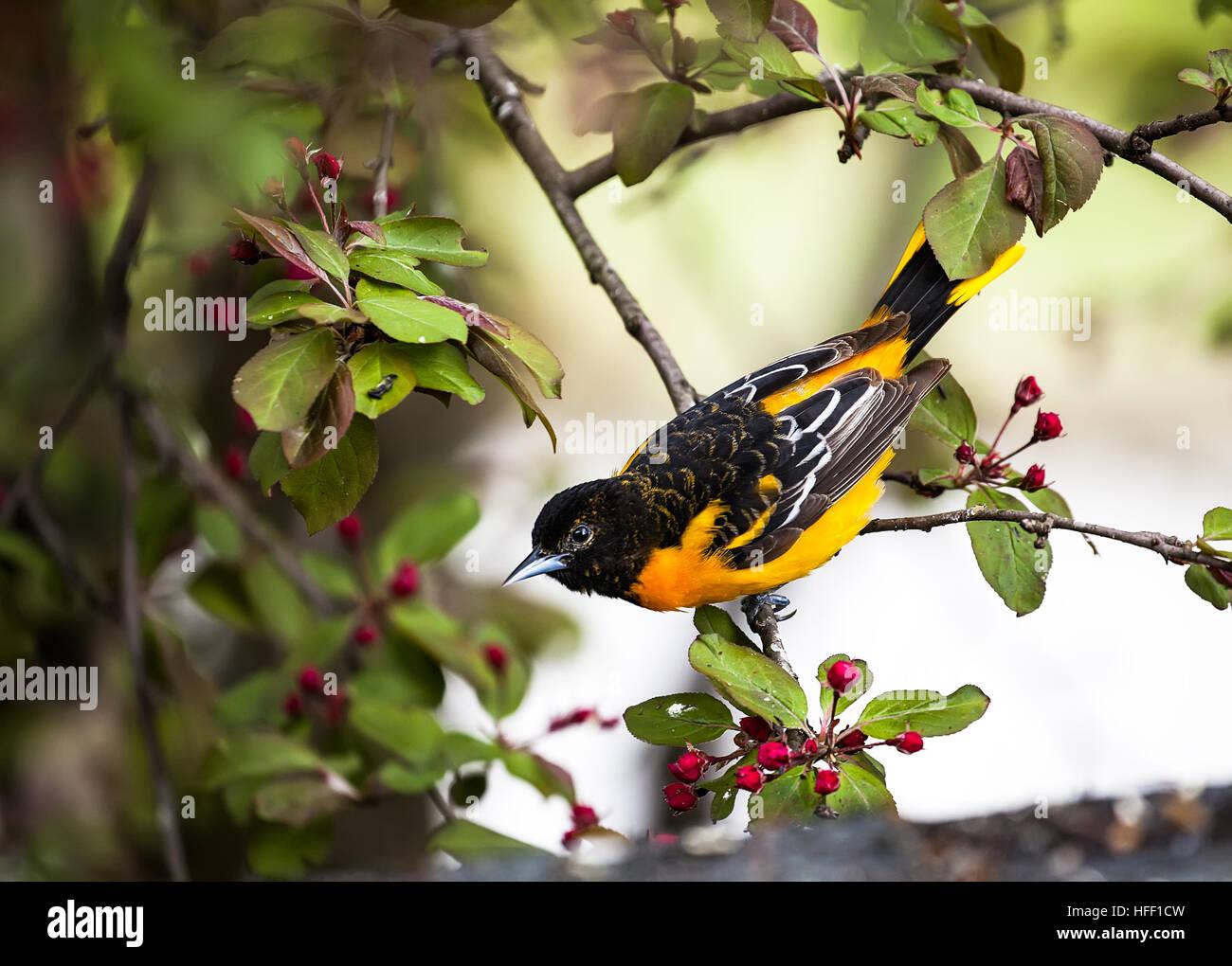 Macho adulto de Baltimore oriole, ictericia, galbula sorprendentemente colorista en el plumaje. Foto de stock