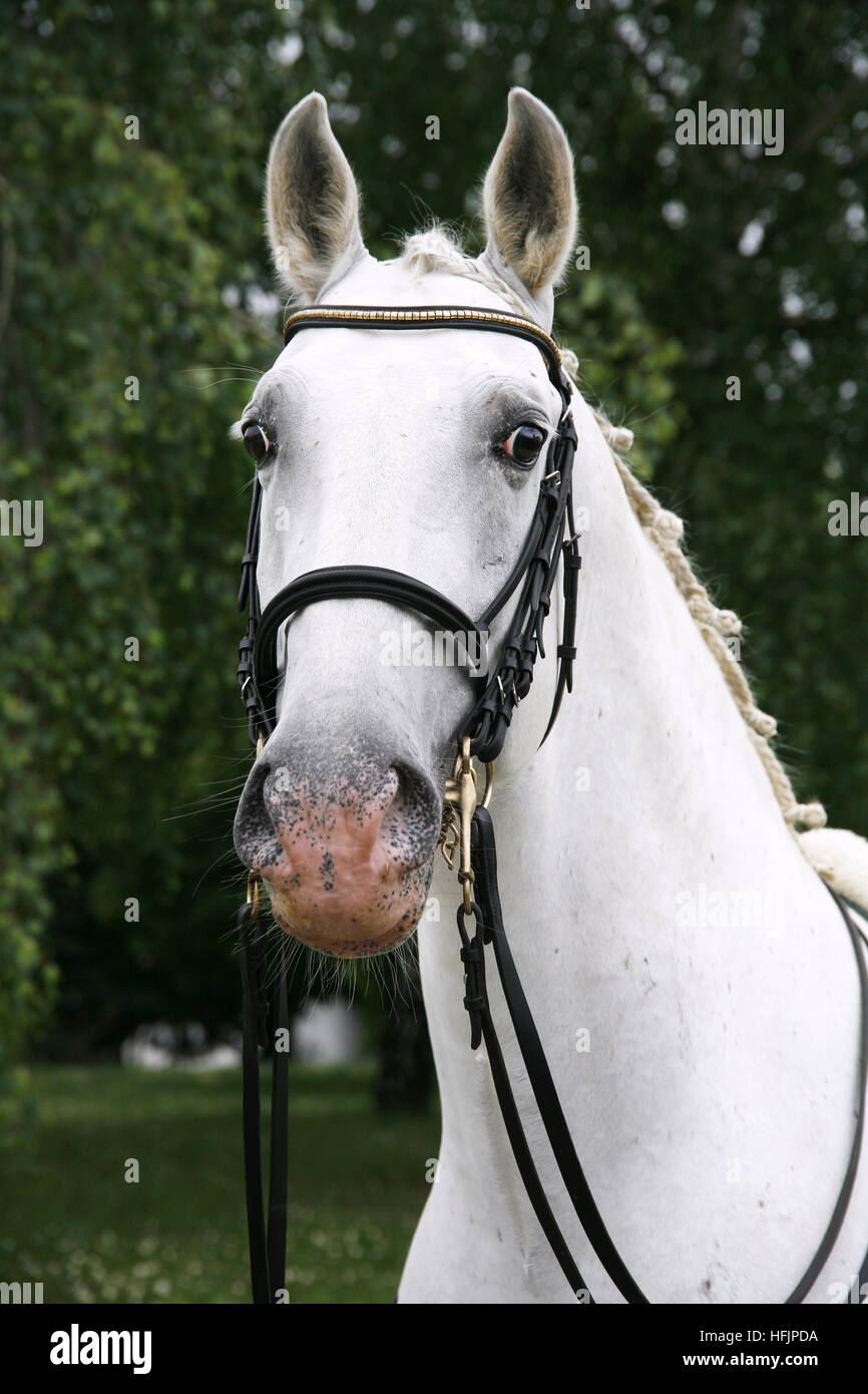 Retrato de un gris semental Pura Raza lipizzaner bajo sillin Foto de stock