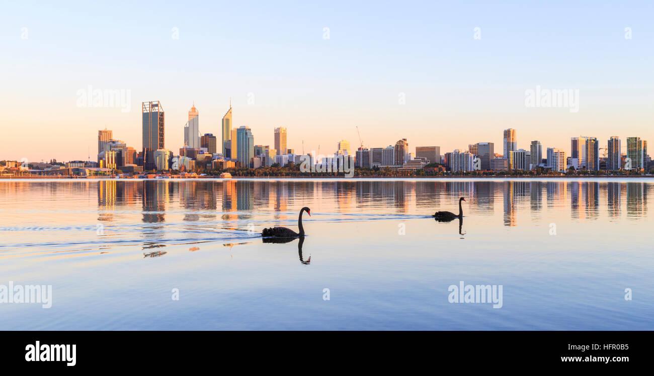 Dos cisnes negros (Cygnus atratus) en el Río Swan al amanecer. Perth, Australia. El cisne negro es el pájaro Imagen De Stock