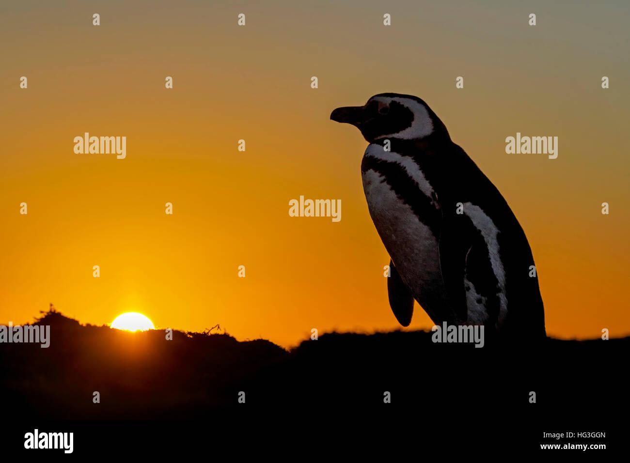 Pingüino de Magallanes Imagen De Stock