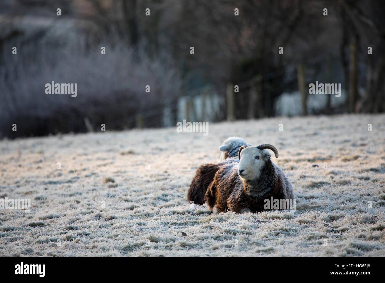 Ovejas descansando durante una pesada noche helada en la aldea de Nannerch (Flintshire, Wales, REINO UNIDO Imagen De Stock