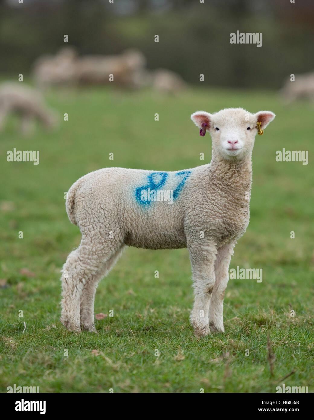 Cordero en el campo de ovejas Imagen De Stock