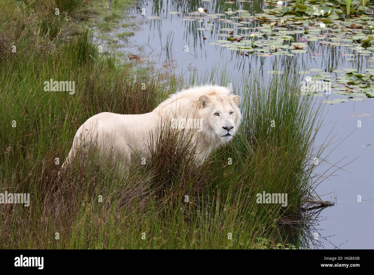 Macho adulto White Lion ( Panthera leo krugeri ), Tenikwa Wildlife Center de sensibilización, Sudáfrica Imagen De Stock