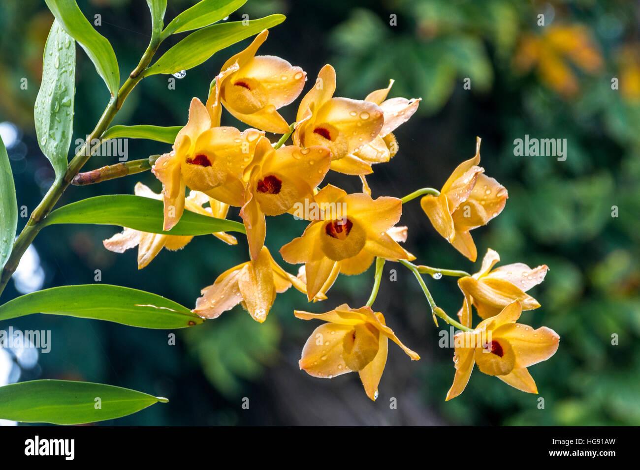 Cerrar un tallo de orquídeas dendrobium amarillas flores y hojas verdes cubiertos de gotas de lluvia Foto de stock