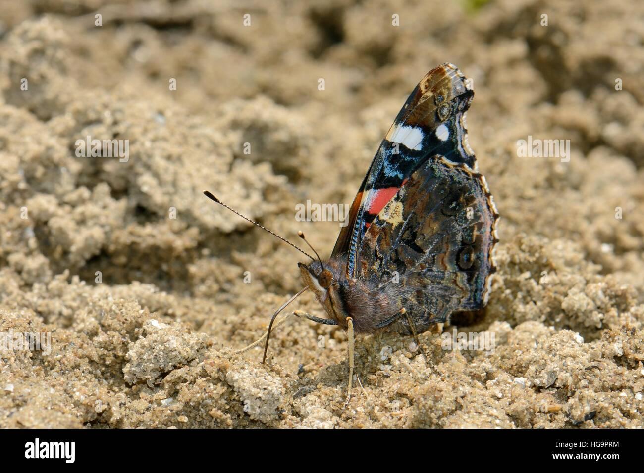 Almirante rojo butterfly (Vanessa Atalanta) en los charcos de barro por la humedad y los minerales en el riverbank Foto de stock