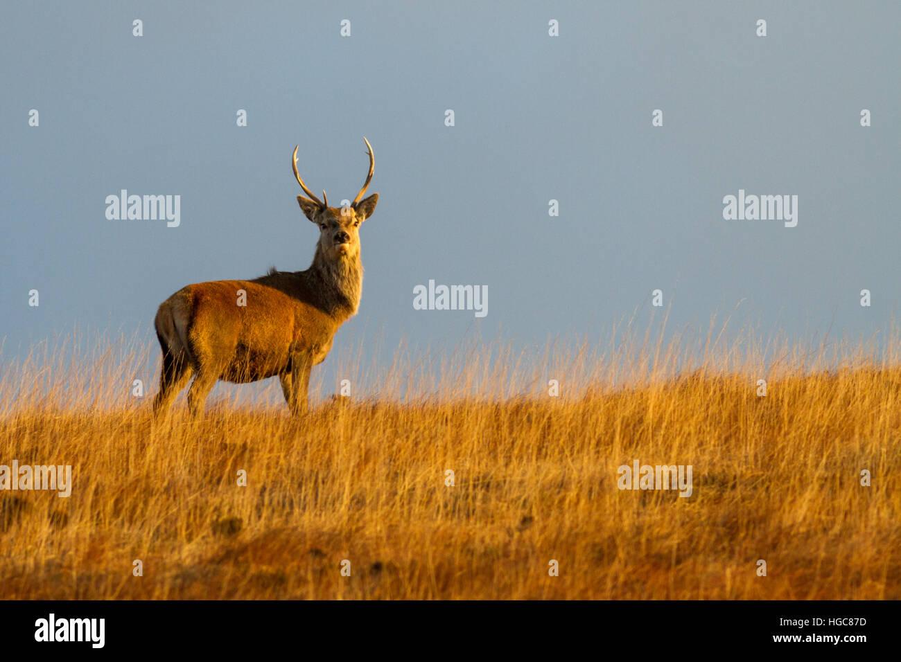 Red Deer Stag at Dawn, Isle of Jura - donde la gente está numerado c. De 30 a 1 por el ciervo rojo. Escocia Foto de stock