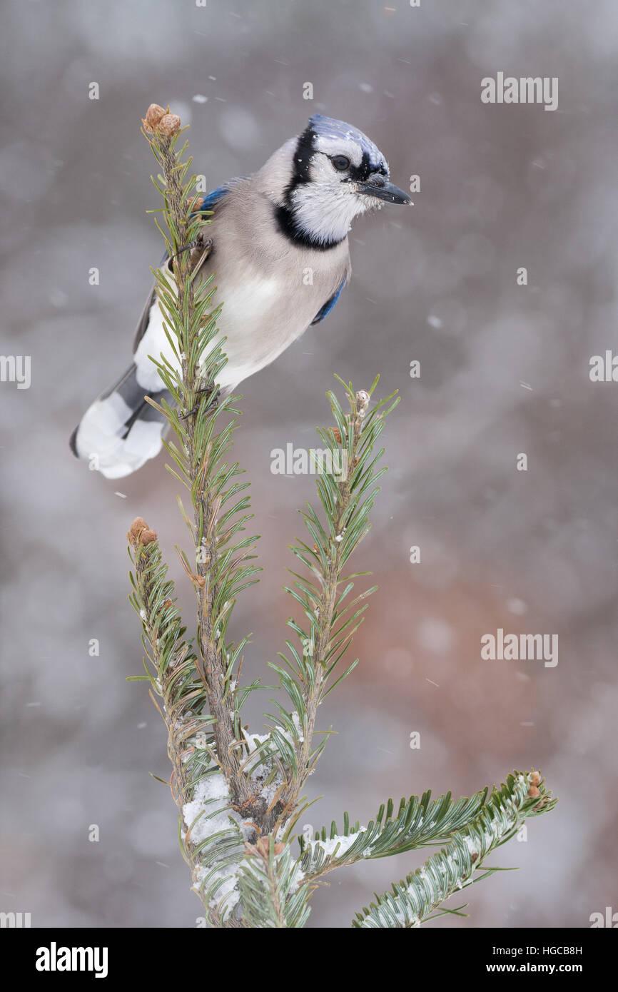 Blue Jay en la tormenta de nieve. Foto de stock