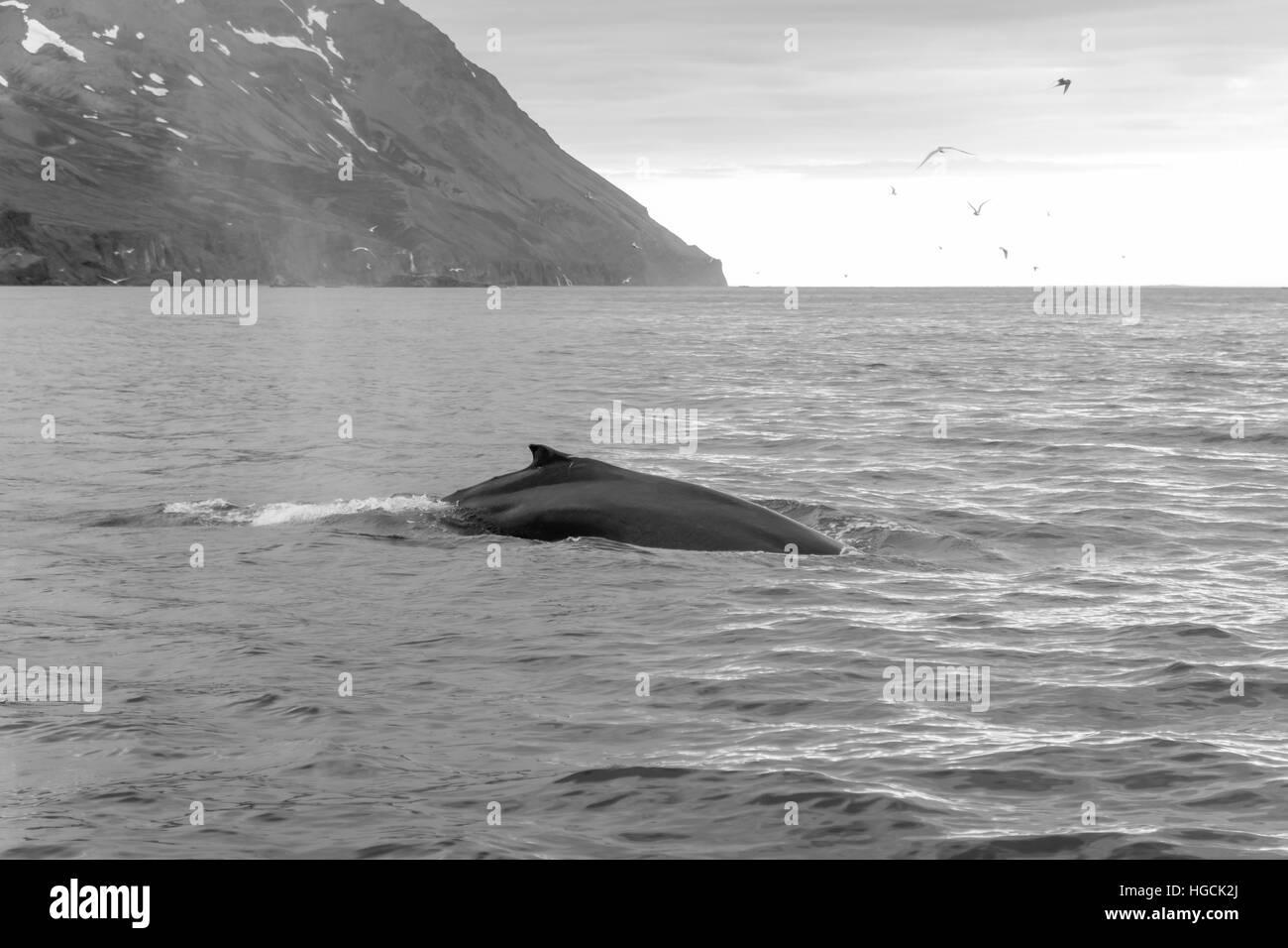 Una copia de una ballena, cerca de Husavik, al nordeste de Islandia Foto de stock