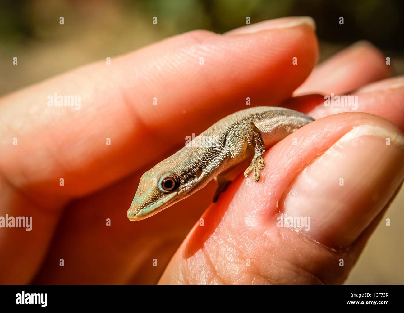 Madagascar pequeño gecko en mano humana Imagen De Stock