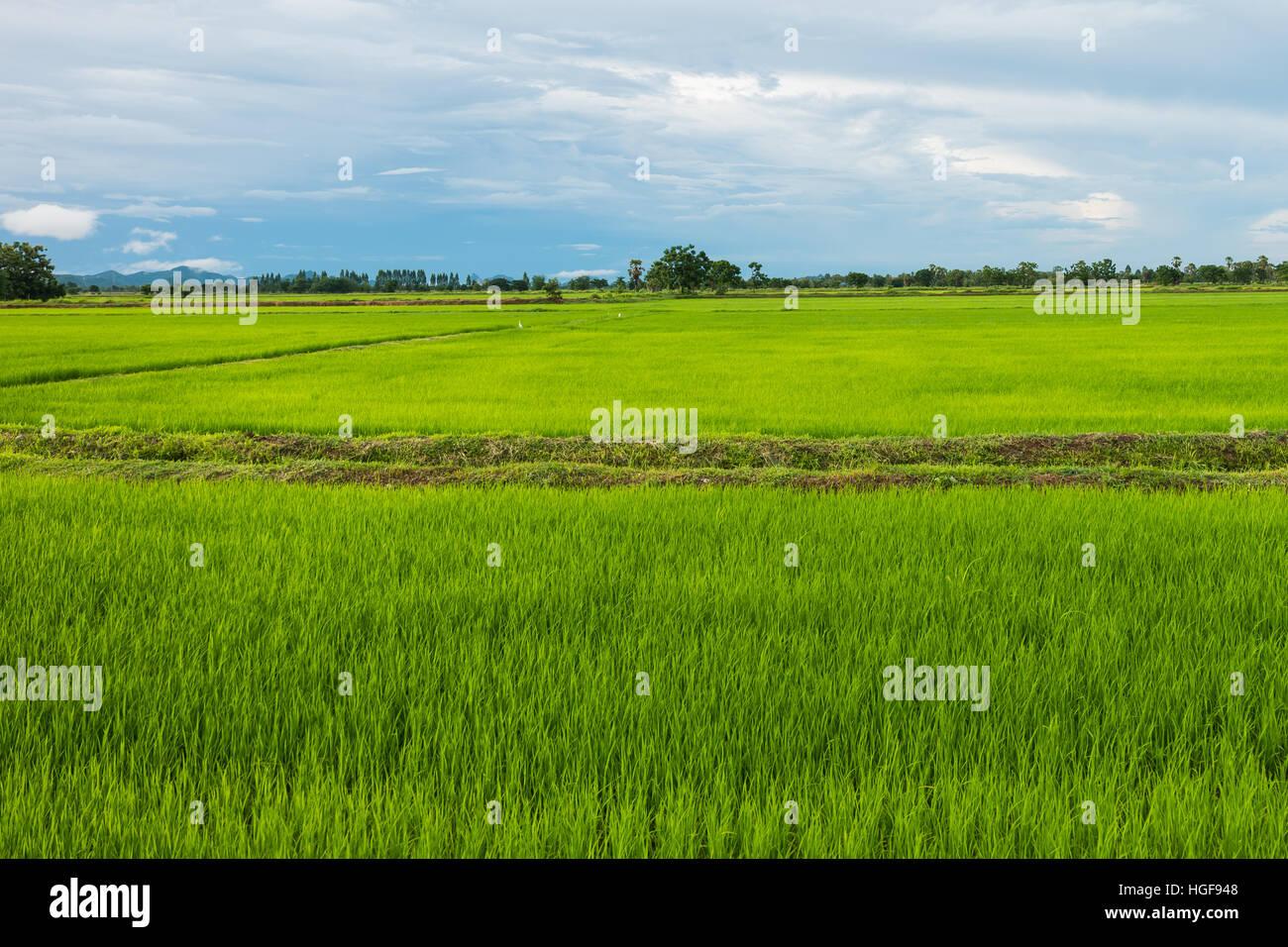Campo de arroz en la estación lluviosa en Phetchaburi provinnce,Tailandia Imagen De Stock
